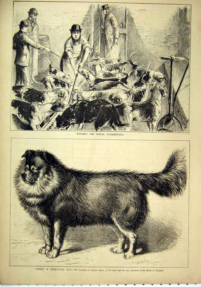 Print Feeding Royal Buckhounds 1879 Nero Nepaulese Dog 70Mar1 Old Original