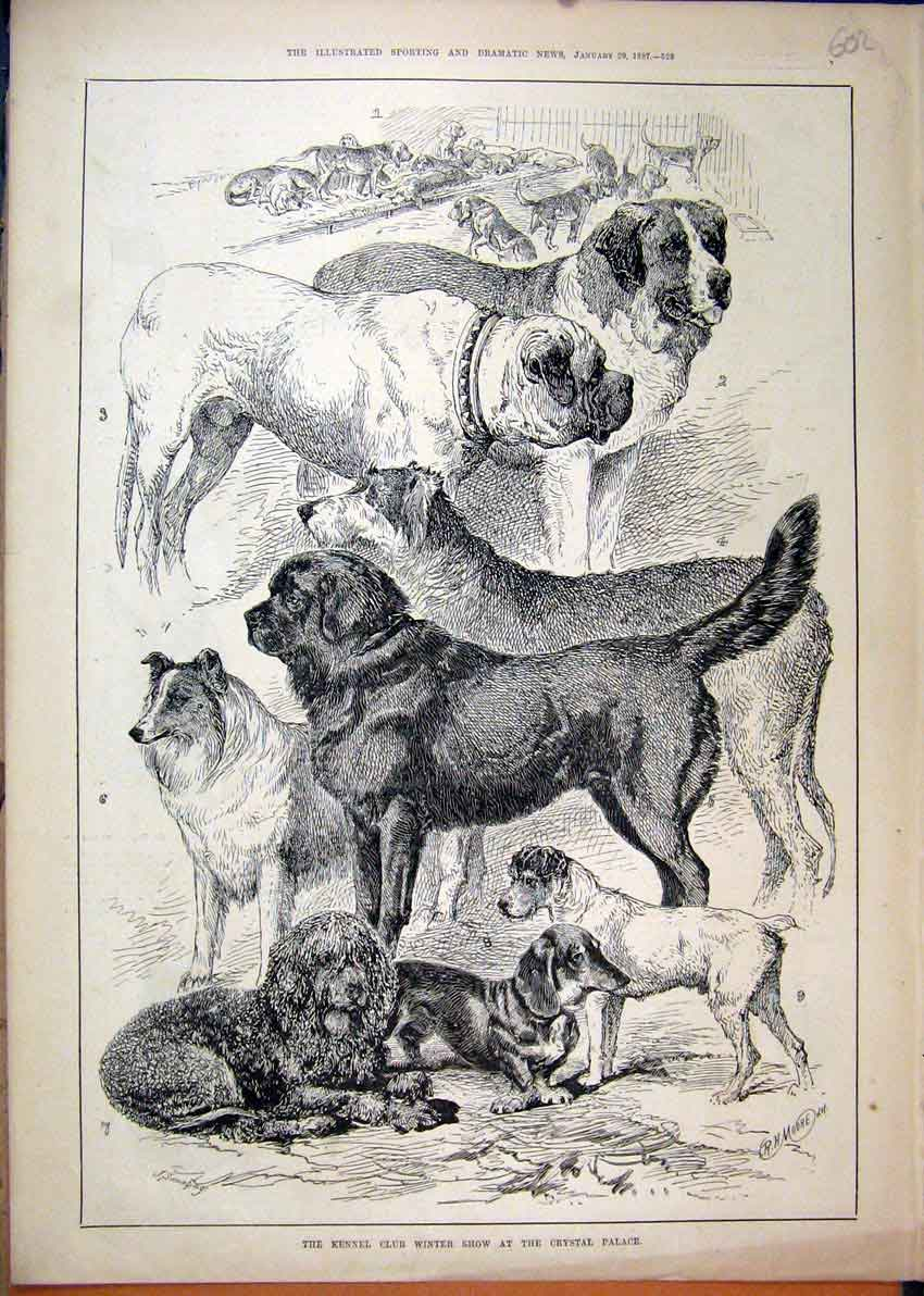 Print 1887 Kennel Club Winter Show Crystal Palace Dog 02Mar1 Old Original