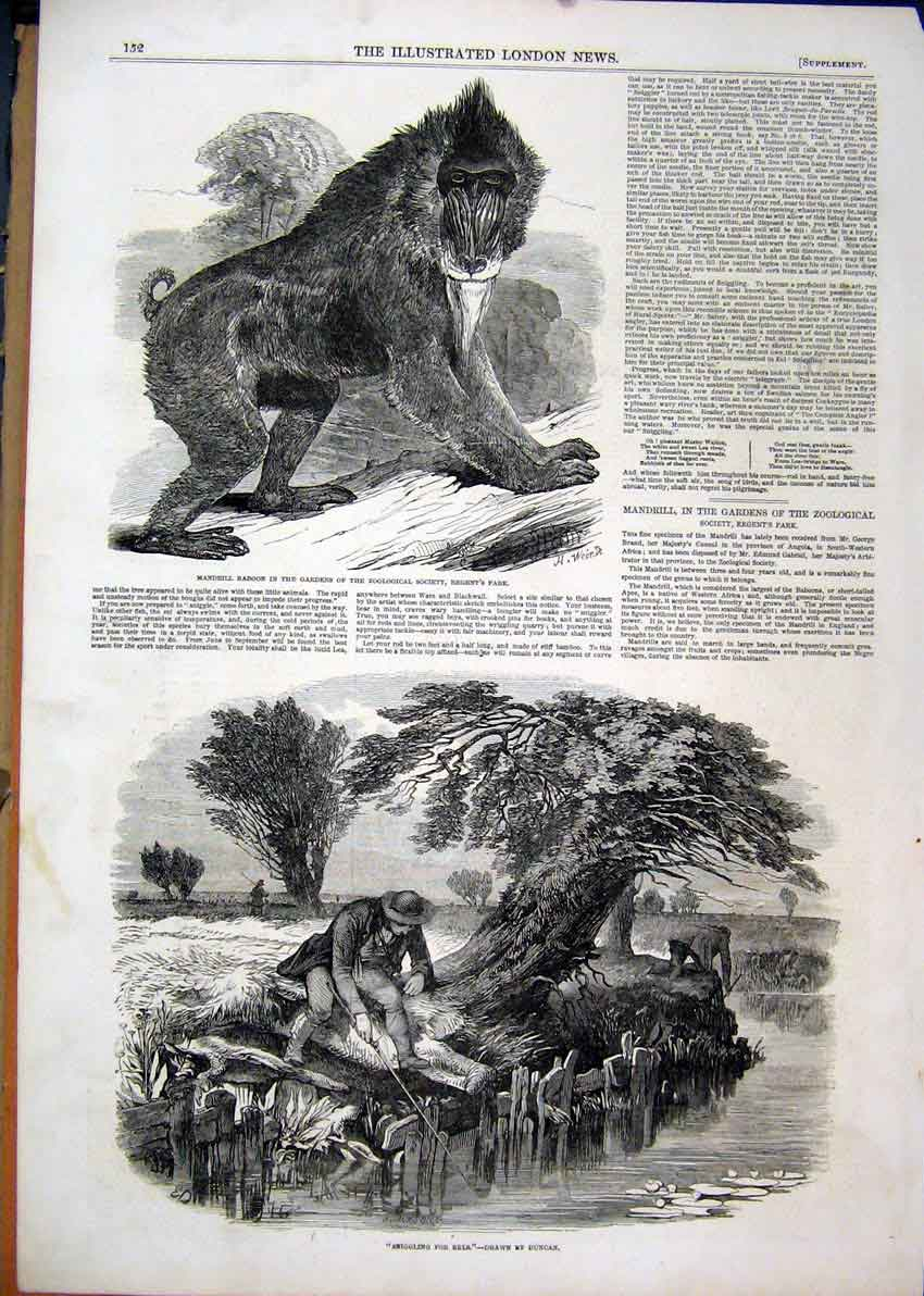 Print 1850 Mandrill Baboon Regents Park Man Fishing Eels 60Mar1 Old Original