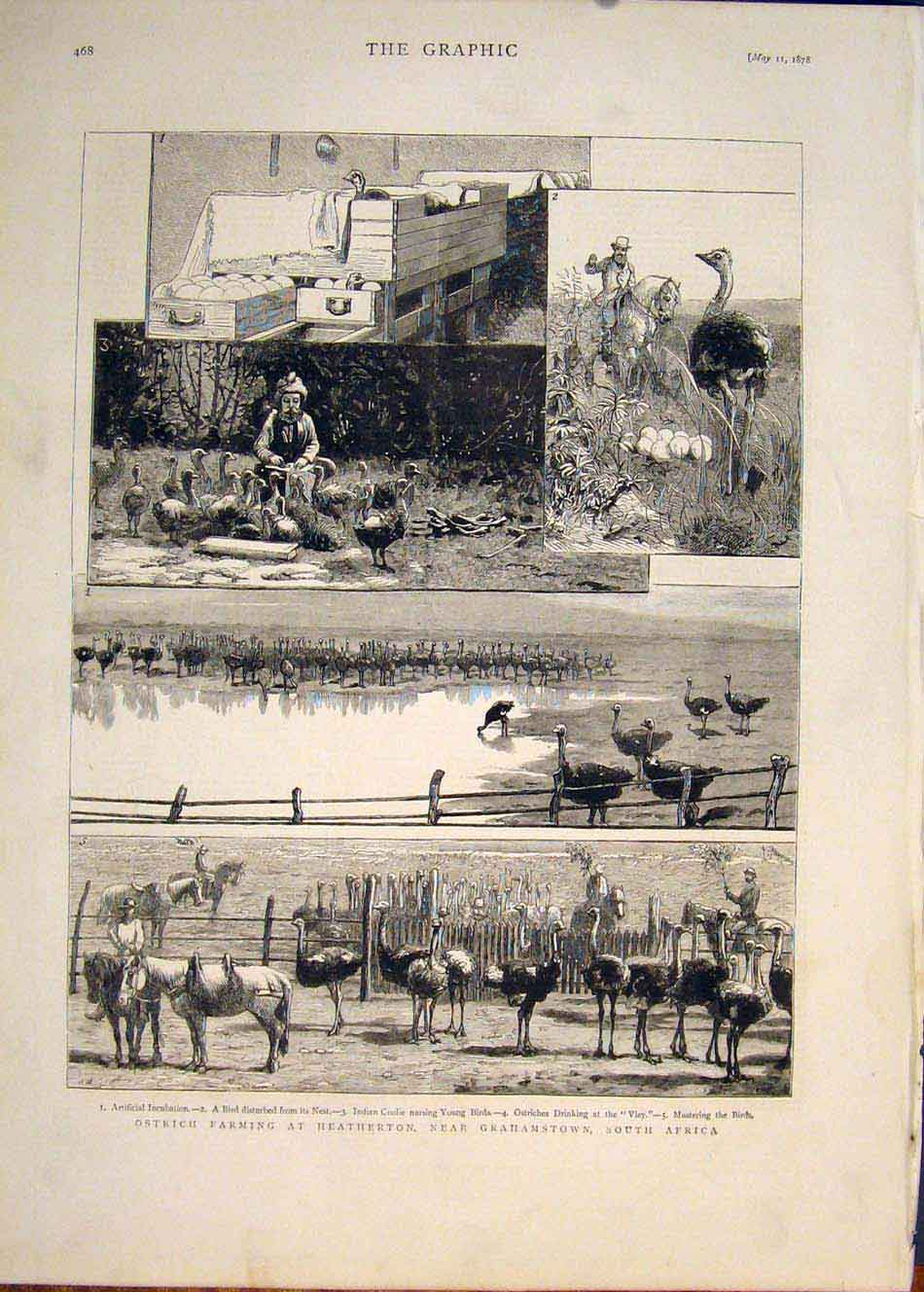 [Print Ostrich Farm Heatherton Grahamstown South Africa 1878 68Mbb0 Old Original]