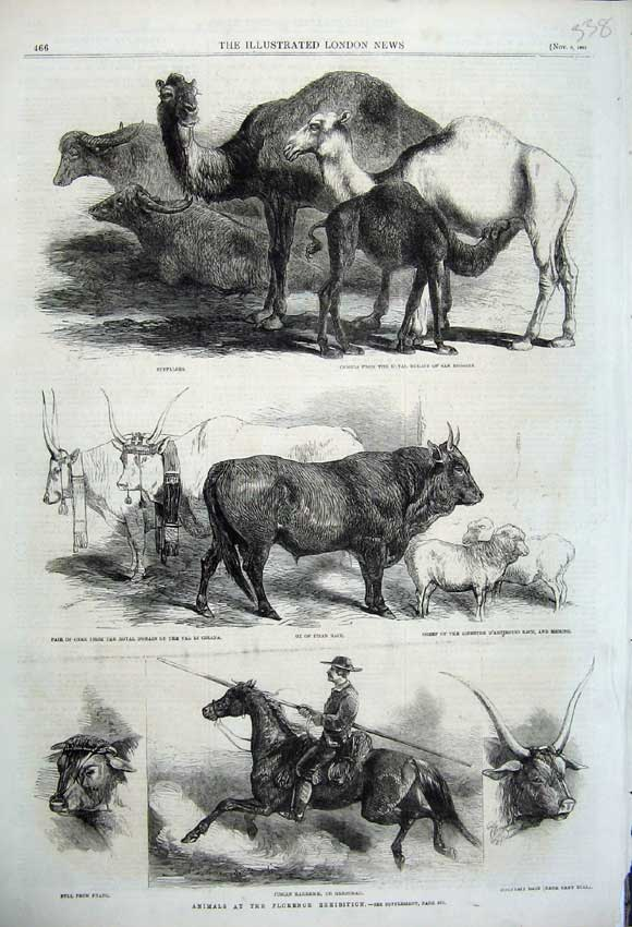 Print 1861 Florence Exhibition Animals Ox Horse Bull Camels 338N112 Old Original