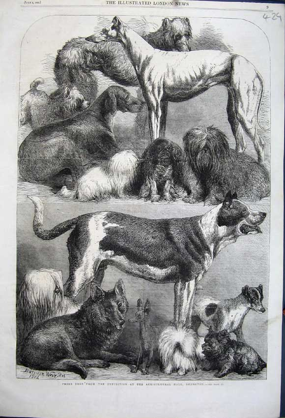 Print 1862 Prize Dogs Agricultural Show Islington Greyhound 429N114 Old Original