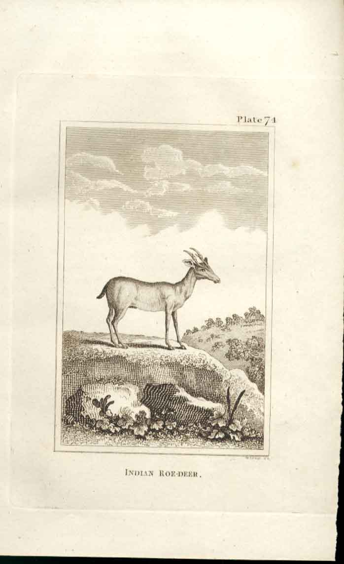 [Print Indian Roe Deer 1812 Buffon Natural History Plate 74 744501 Old Original]