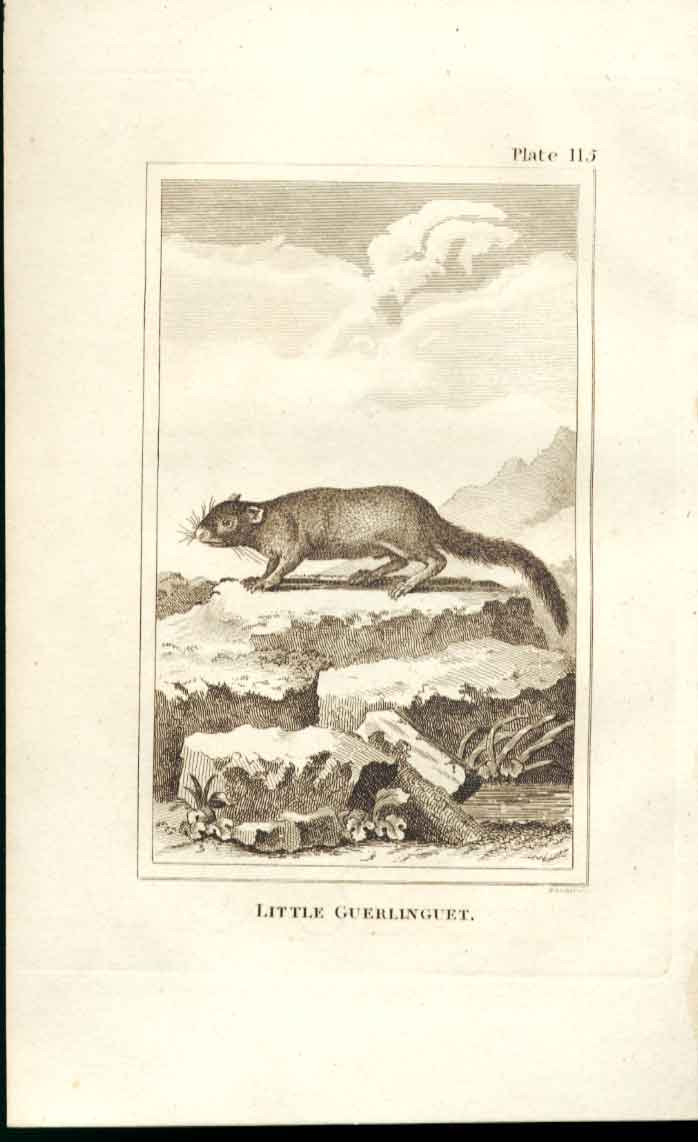 [Print Little Guerlinguet 1812 Buffon Natural History Plate115 154501 Old Original]
