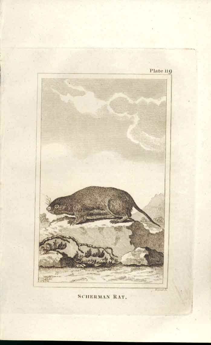 [Print Scherman Rat 1812 Buffon Natural History Plate 119 194501 Old Original]