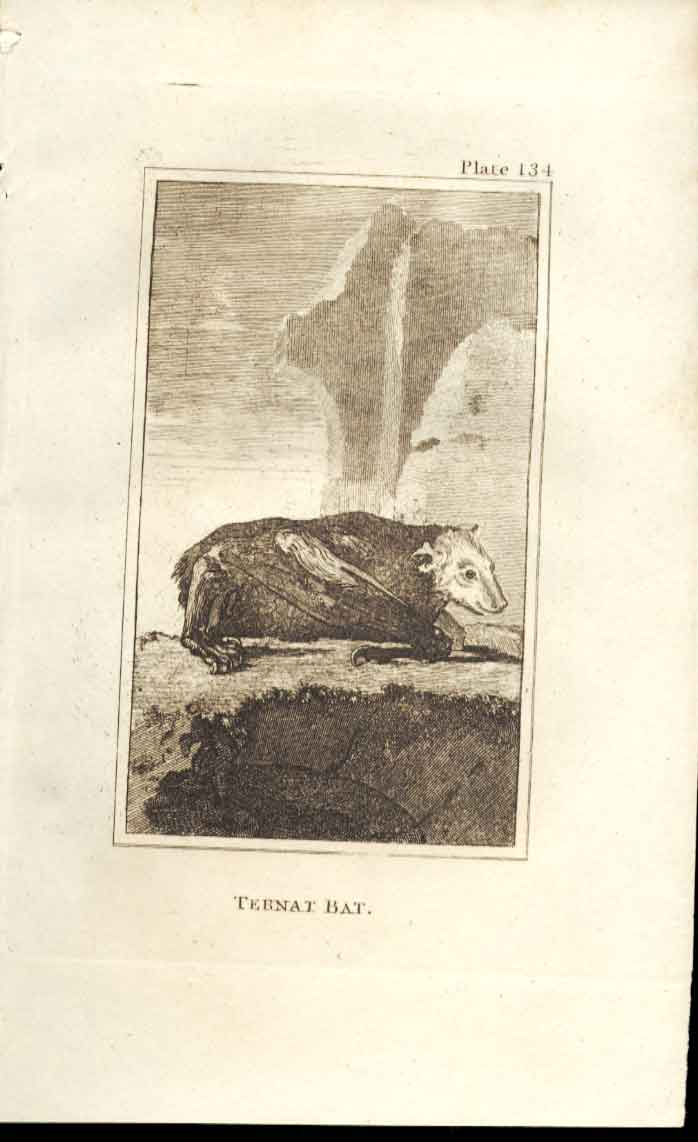 [Print Ternat Bat 1812 Buffon Natural History Pl 134 344501 Old Original]