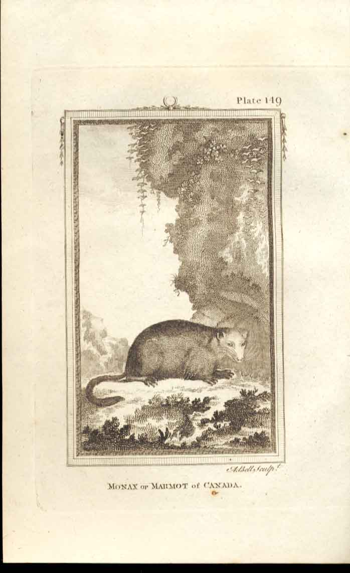 [Print Marmot Canadia 1812 Buffon Natural History Pl 149 494501 Old Original]