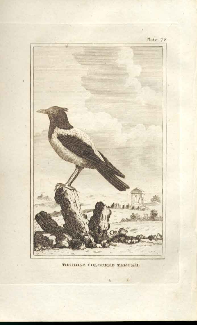 [Print The Rose Coloured Thrush 1812 Buffon Birds Plate 78 784511 Old Original]