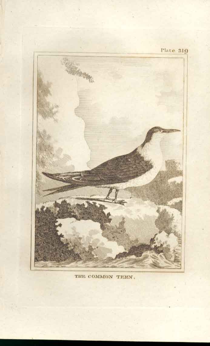Old Antique Print The Common Tern 1812 Buffon Birds Plate 219 194511