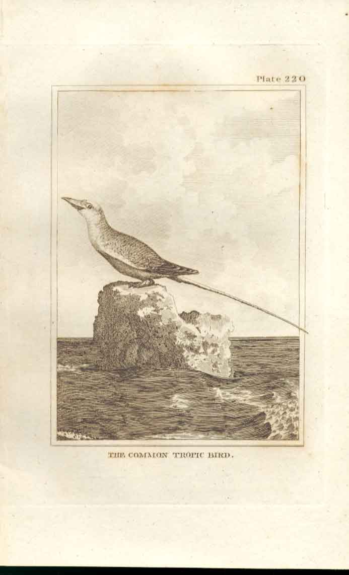Old Antique Print The Common Tropic Bird 1812 Buffon Birds Plate 220 204511