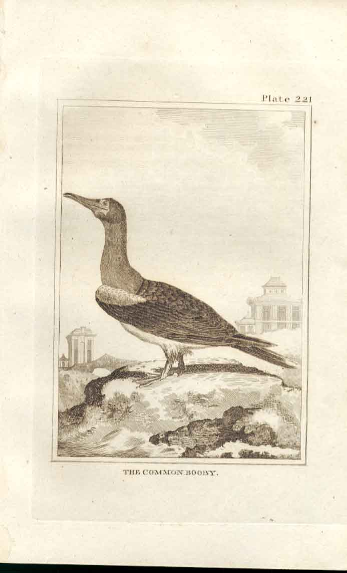 Old Antique Print The Common Booby 1812 Buffon Birds Plate 221 214511