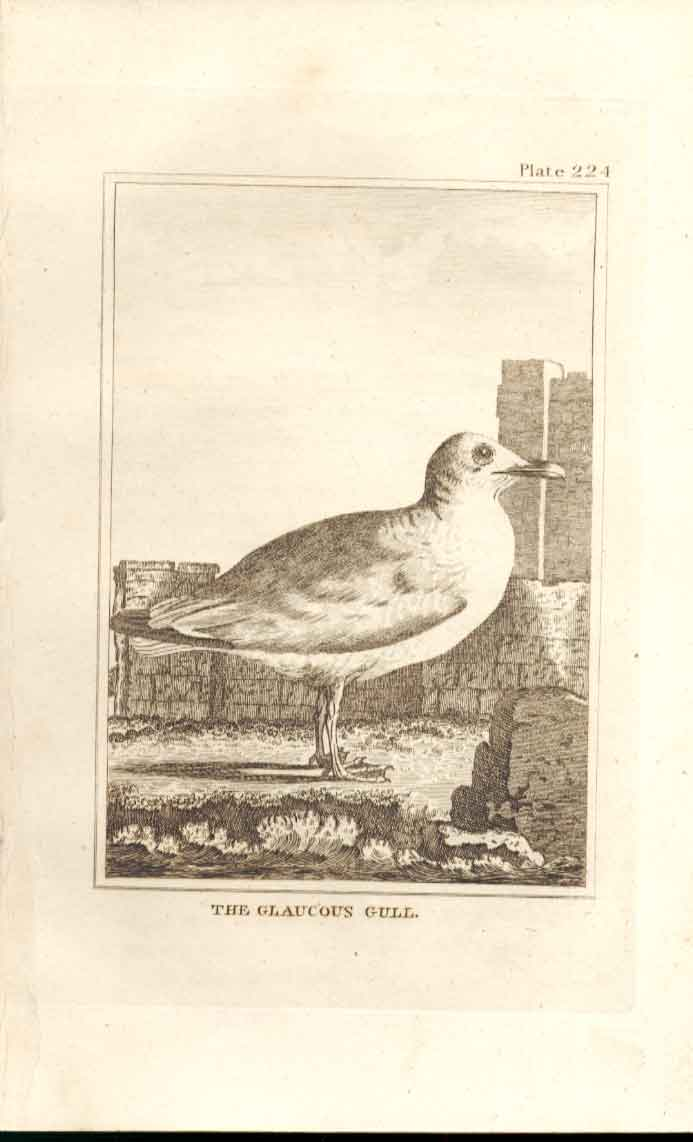 Old Antique Print The Glauous Gull 1812 Buffon Birds Plate 224 244511