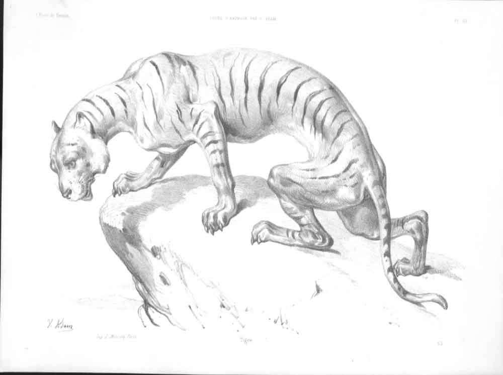 [Print 1898 Sketch Of A Tiger By V Adam Paris 494571 Old Original]