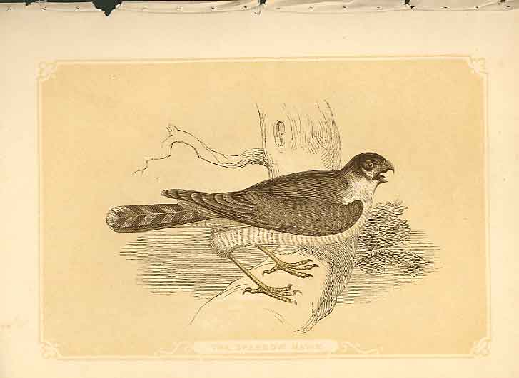 [Print The Sparrow Hawk 1860 Coloured Engraving Birds 484821 Old Original]
