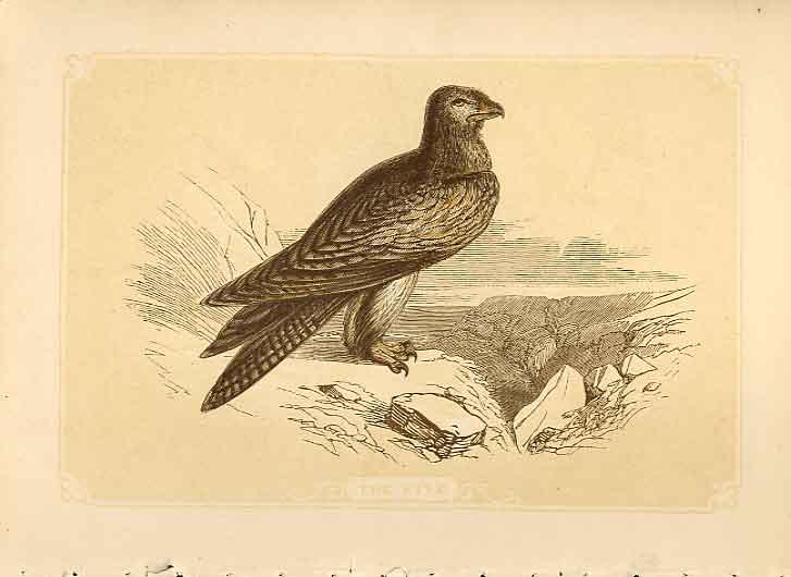 [Print The Kite 1860 Coloured Engraving Sepia Style Bird Hawks 494821 Old Original]