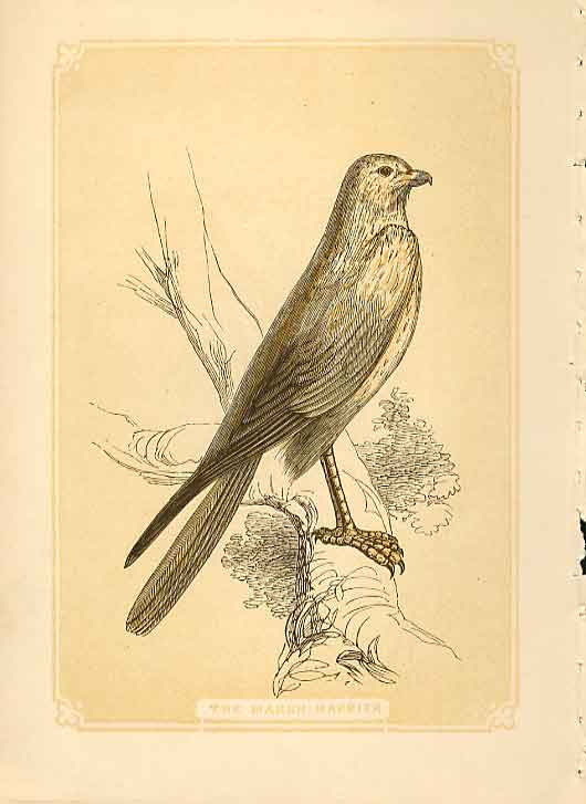 [Print The Marsh Harrier Hawk 1860 Coloured Engraving Birds 514821 Old Original]