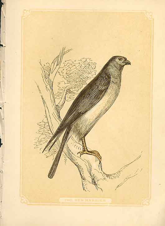 [Print The Hen Harrier Hawk 1860 Coloured Engraving Birds 524821 Old Original]