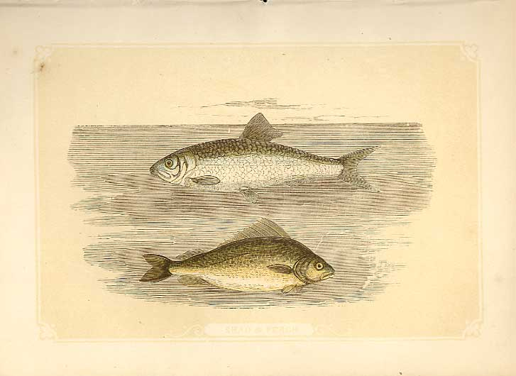 [Print Shad & Perch 1860 Coloured Engraving Sepia Style Fish 674821 Old Original]
