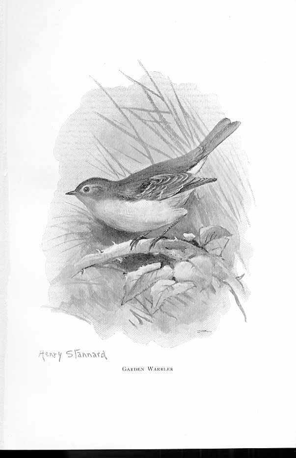 [Print Garden Warbler By Stannard Favourite Song Birds 1897 024861 Old Original]
