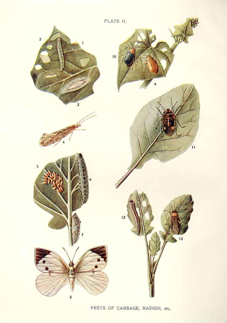 [Print Indian Insects Butterfly Pest Cabbage Radish Etc 024901 Old Original]
