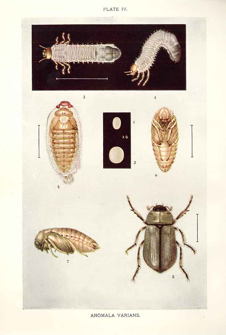 [Print Indian Insects Beetle Anomala Varians 044901 Old Original]
