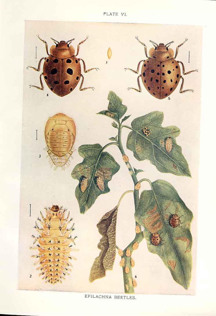 [Print Indian Insects Beetle Epilachna Beetles 064901 Old Original]