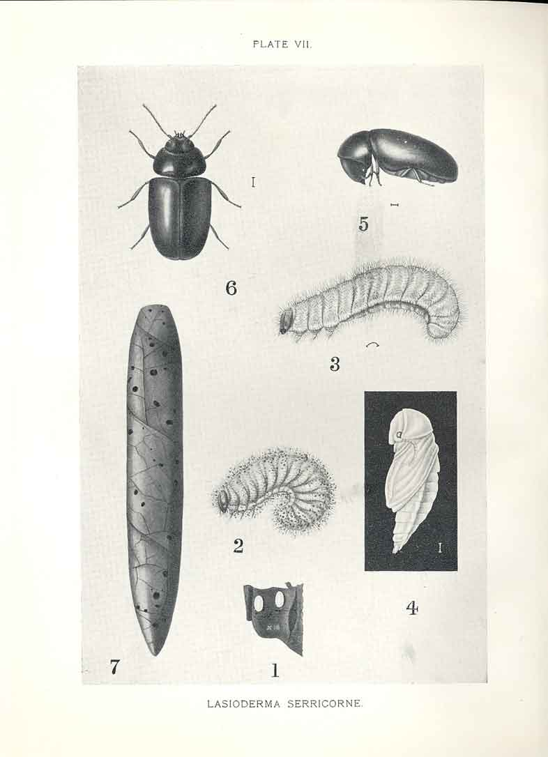 [Print Indian Insects Beetle Lasioderma Serricorne 074901 Old Original]
