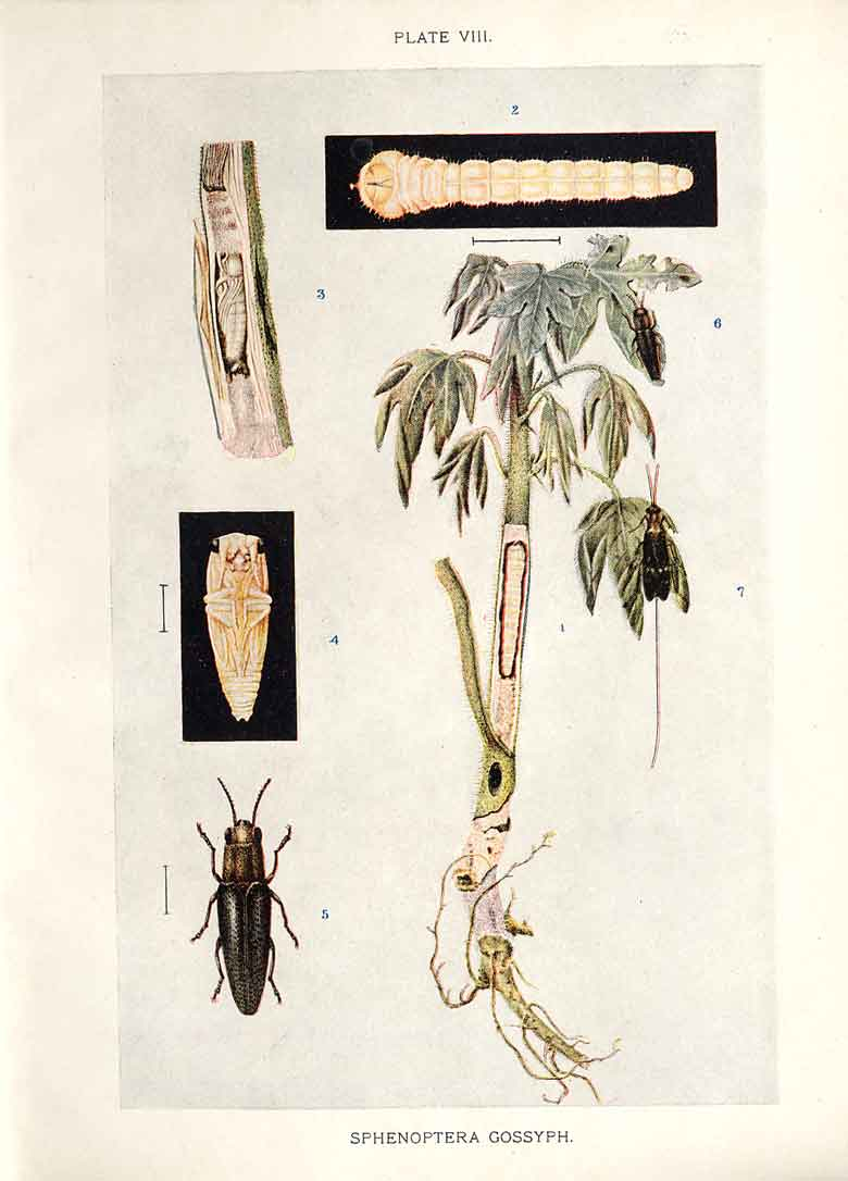 [Print Indian Insects Beetle Sphenoptera Gossypii 084901 Old Original]