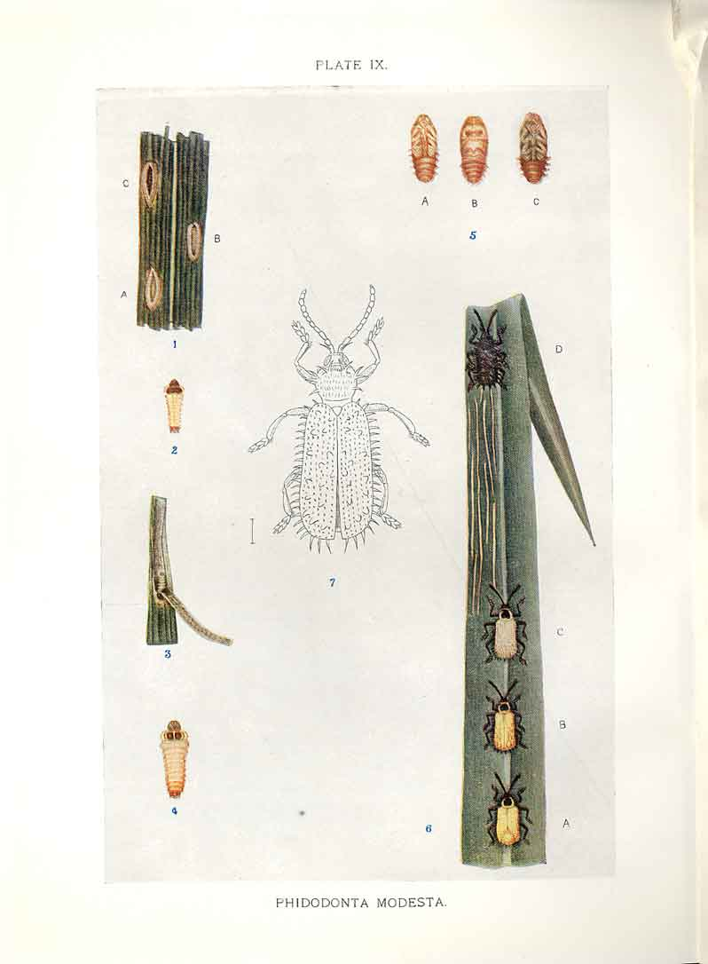 [Print Indian Insects Beetle Phidodonta Modesta 094901 Old Original]
