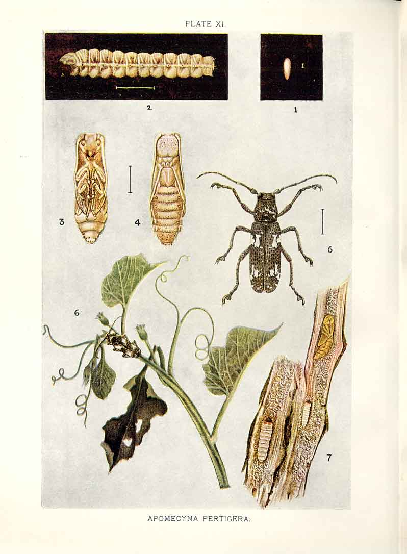 [Print Indian Insects Beetle Apomecyna Pertigera 114901 Old Original]