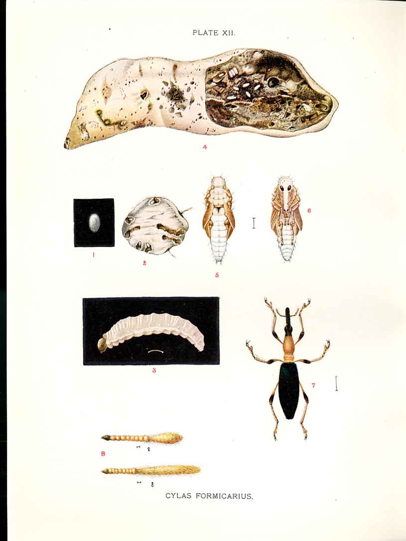 [Print Indian Insects Beetle Cylas Formicarius 124901 Old Original]