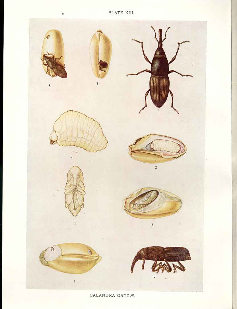 [Print Indian Insects Beetle Calandra Oryzae 134901 Old Original]