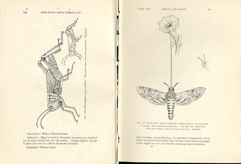 [Print Indian Insects Hoppers Hawk Moth 924901 Old Original]