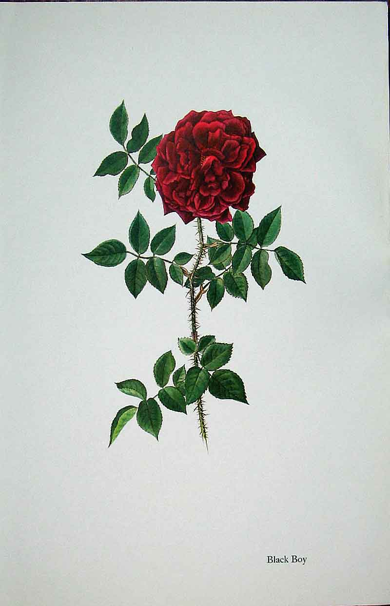 [Print Black Boy Rose By Lotte Gunhart 1965 Watercolour 035311 Old Original]