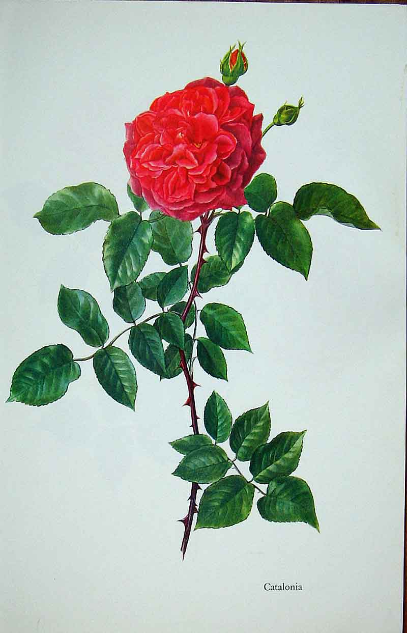 [Print Catalonia Rose By Lotte Gunhart 1965 Watercolour 055311 Old Original]
