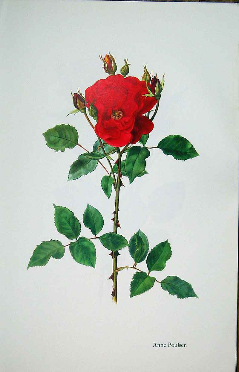 [Print Anne Poulsen Rose By Lotte Gunhart 1965 Watercolour 165311 Old Original]