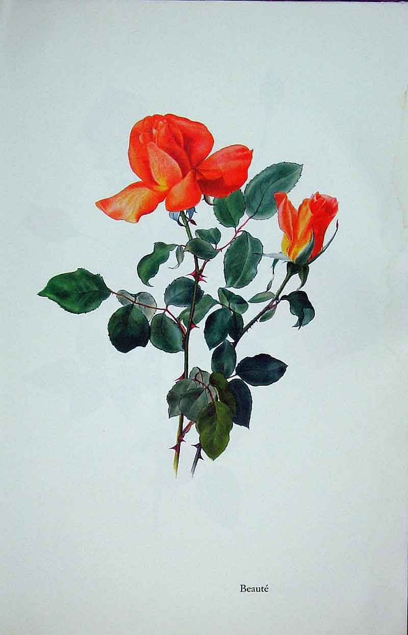 [Print Beaute Rose By Lotte Gunhart 1965 Watercolour 345311 Old Original]
