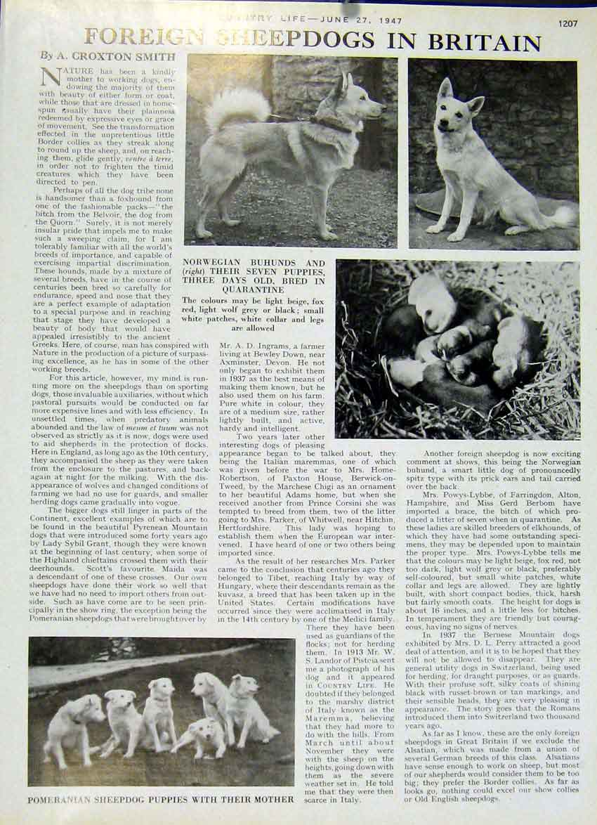 [Print Foreign Sheep Dogs In Britian 1947 Country Life 07Za19 Old Original]