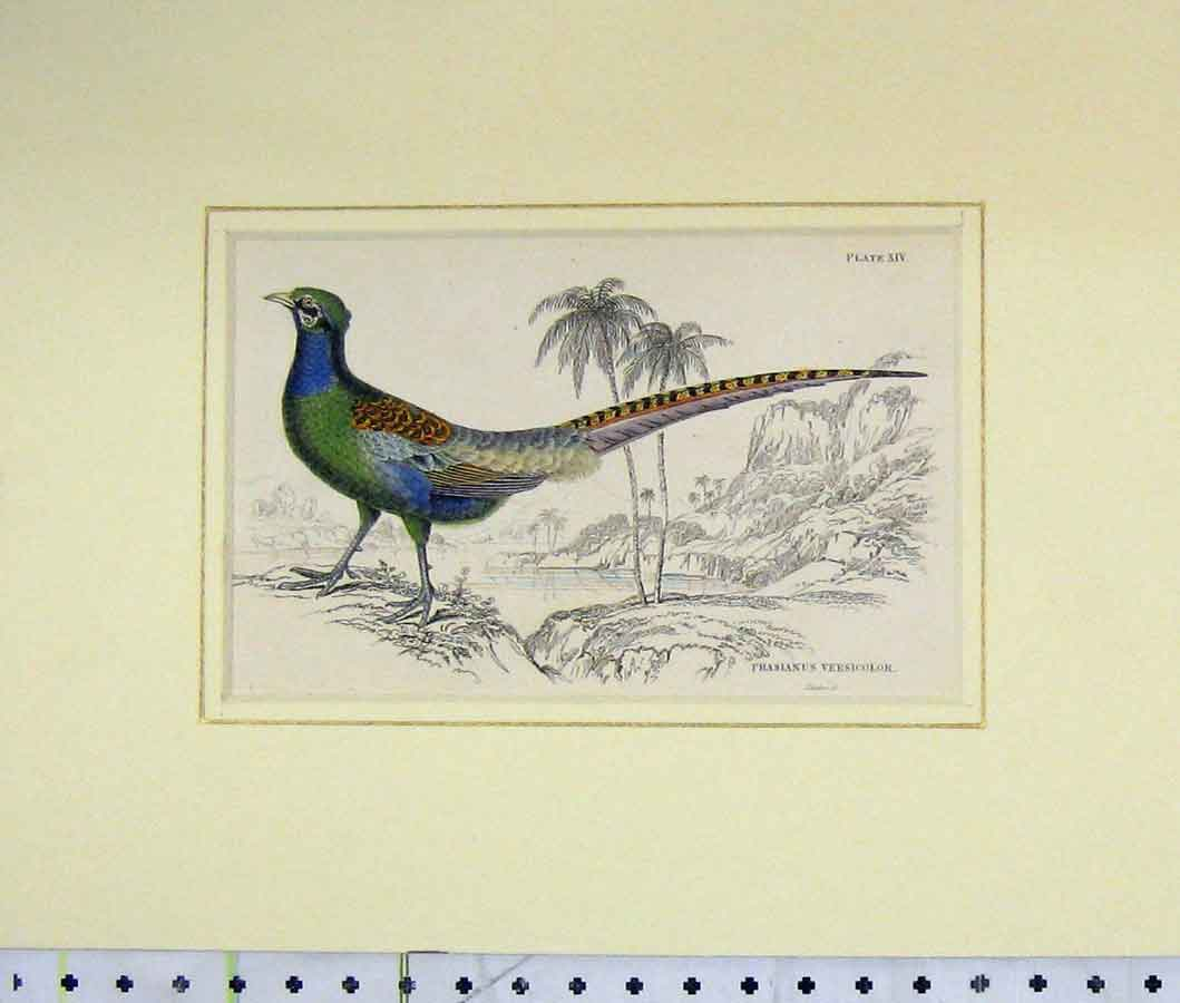 Print 1835 Hand Coloured Phasianus Versicolor Bird Plate Xiv 205B274 Old Original