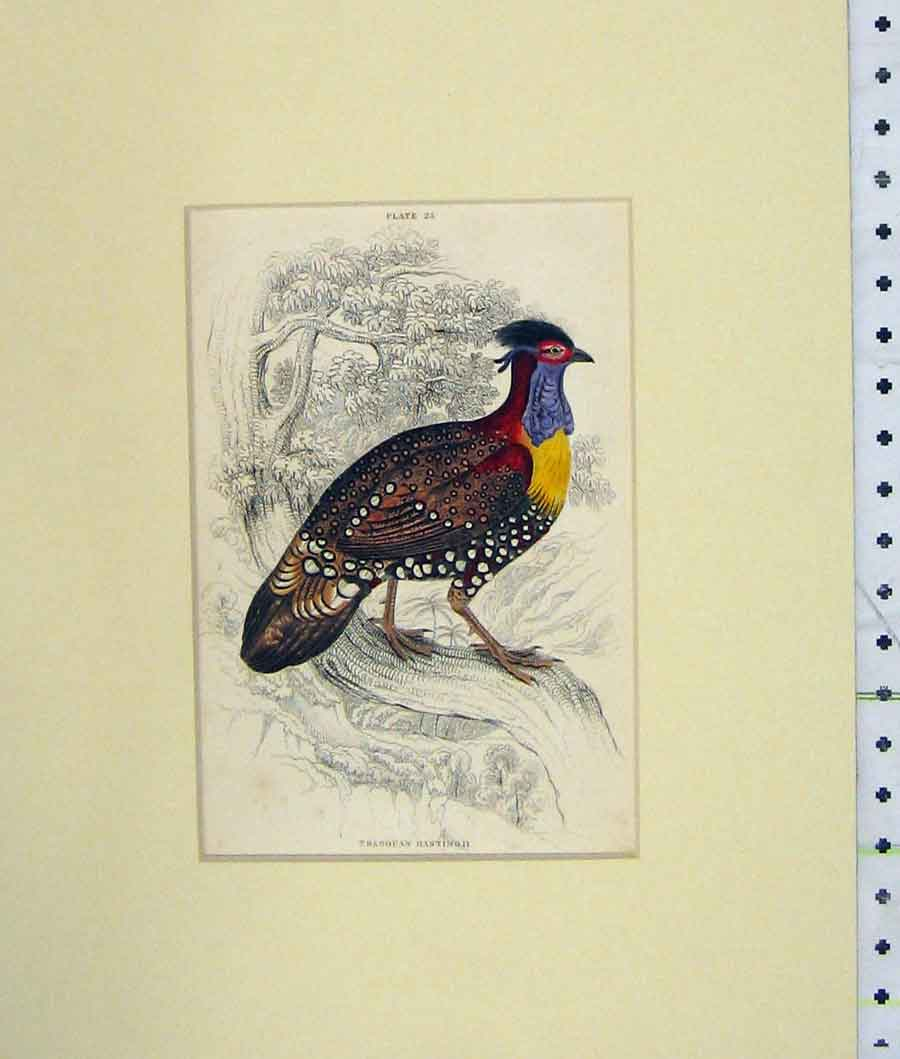 Print Hand Coloured 1835 Tragopan Hasting Bird Plate 25 213B274 Old Original