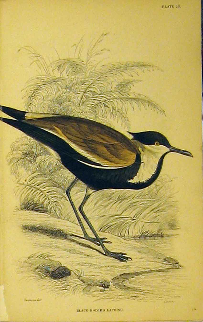 Print C1880 Hand Coloured Black-Bodied Lapwing Lizars 617B310 Old Original