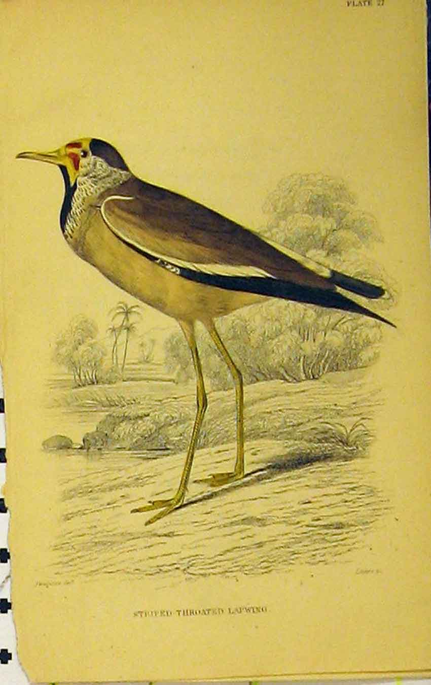 Print Striped-Throated Lapwing Bird C1880 Hand Coloured 637B310 Old Original