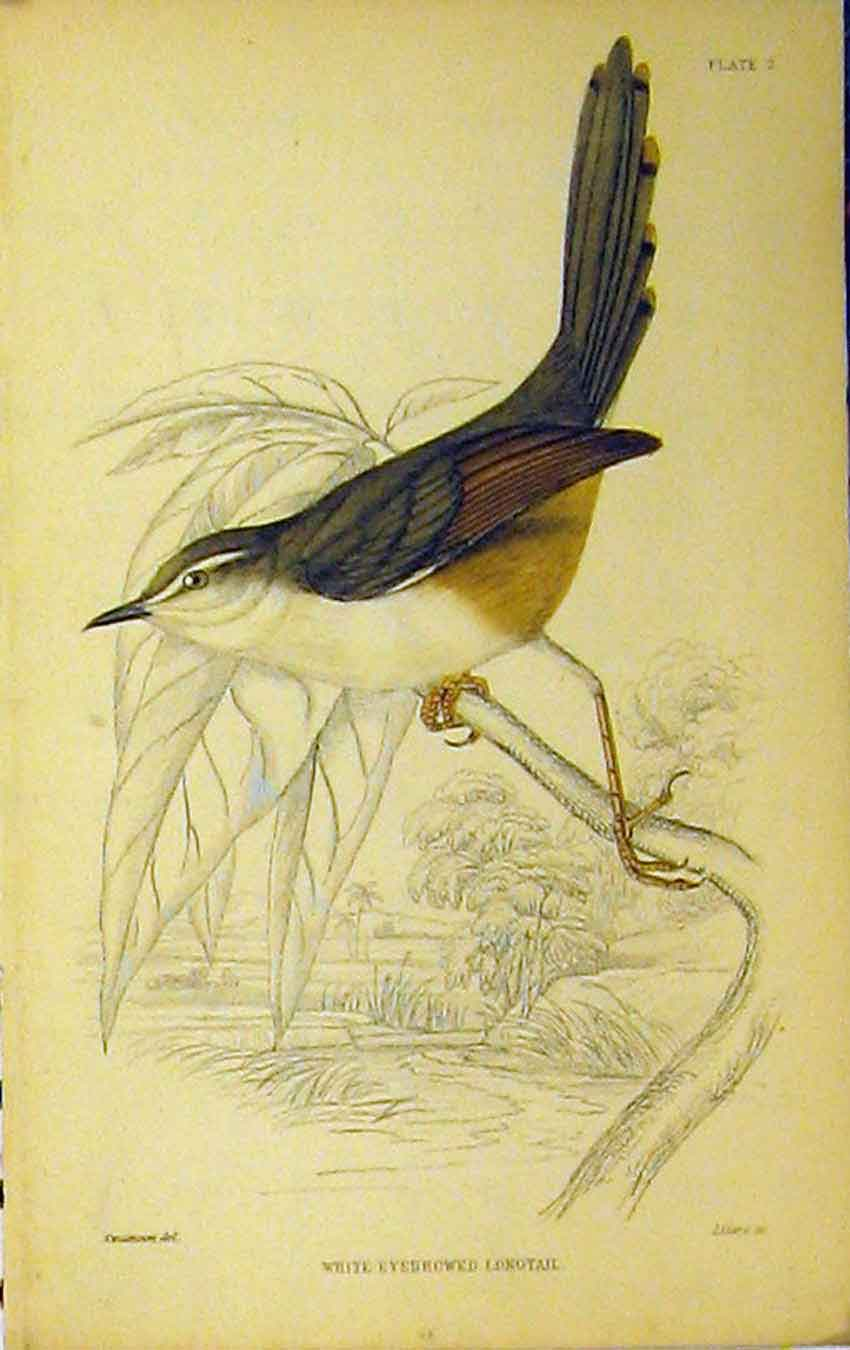 Print White-Eyebrowed Longtail Bird C1880 Hand Coloured 639B310 Old Original