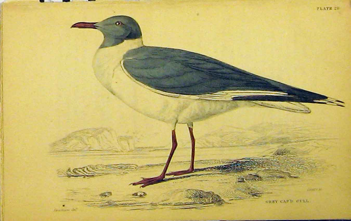 Print C1880 Hand Coloured Bird Grey Capped Gull Lizars 642B310 Old Original