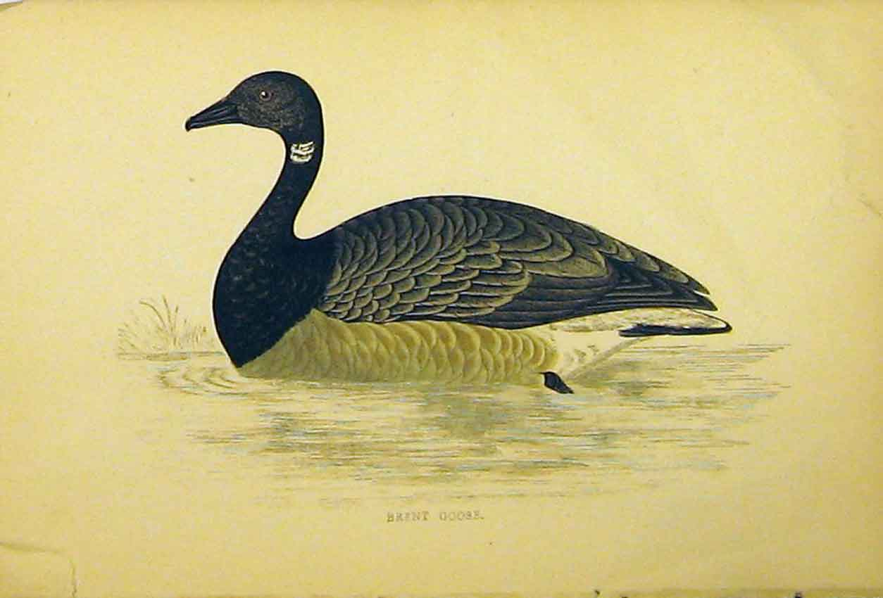 Print Brent Goose Bird C1880 Hand Coloured Natural History 501B311 Old Original