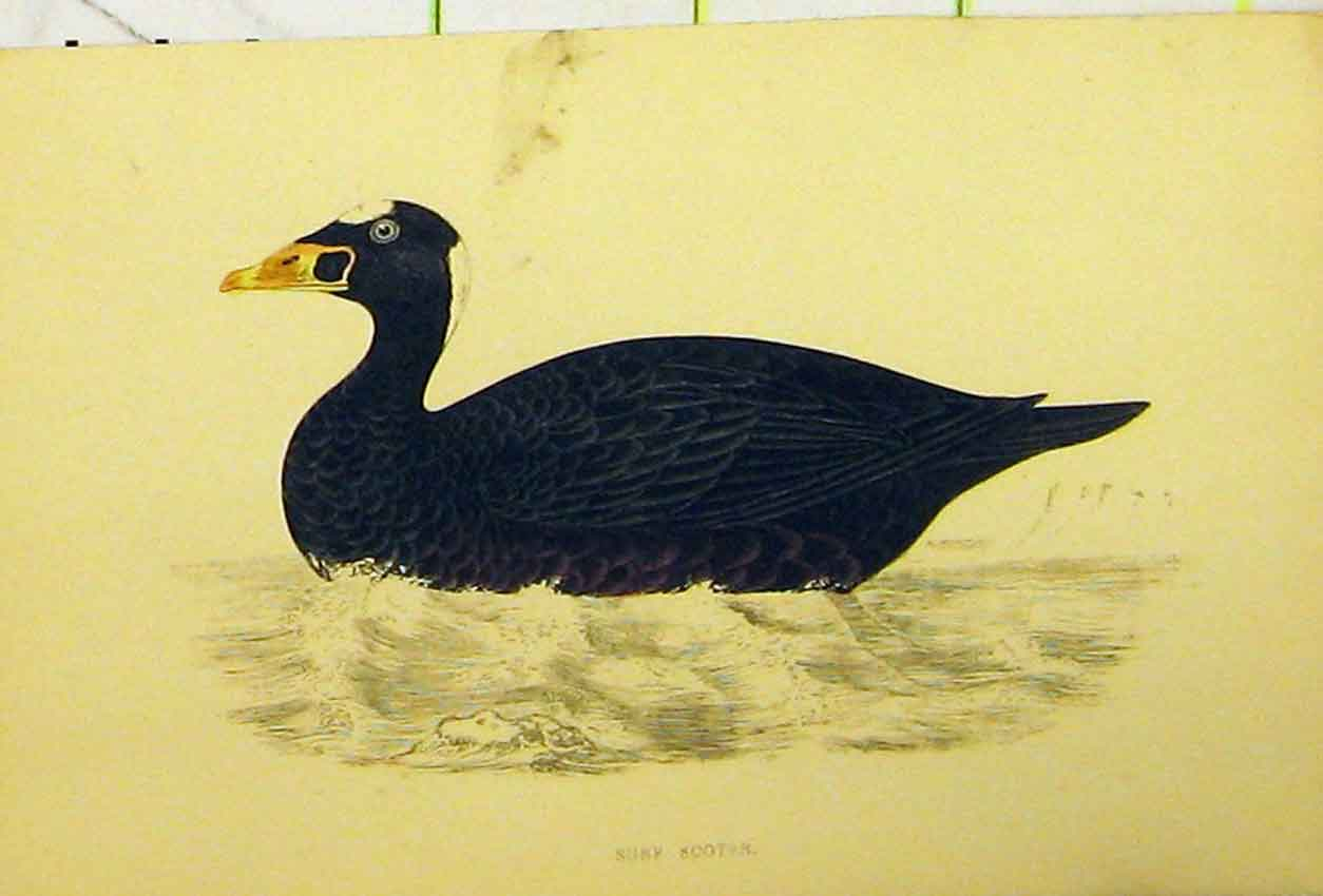 Print Surf Scooter Bird C1880 Hand Coloured Natural History 504B311 Old Original