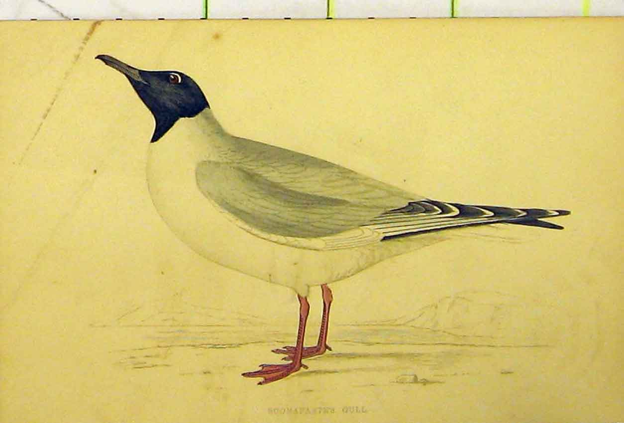 Print Buonaprte'S Gull Sea Bird C1880 Hand Coloured 509B311 Old Original