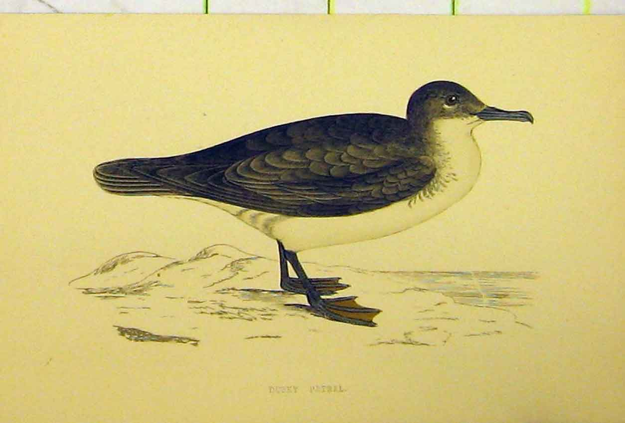 Print Hand Coloured C1880 Dusky Petrel Bird Natural History 512B311 Old Original