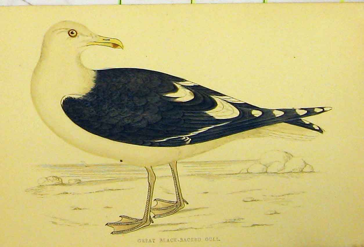 Print C1880 Hand Coloured Great Black-Backed Gull Bird 516B311 Old Original