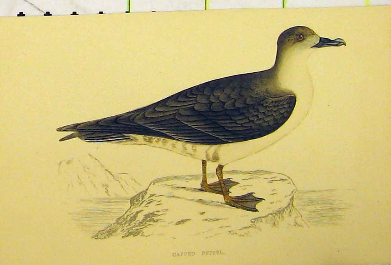 Print C1880 Hand Coloured Capped Petrel Bird Natural History 517B311 Old Original